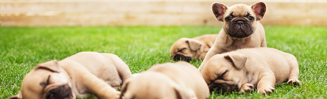 Dog Care - Distinguishing Between a Reputable Breeder and Backyard Breeder
