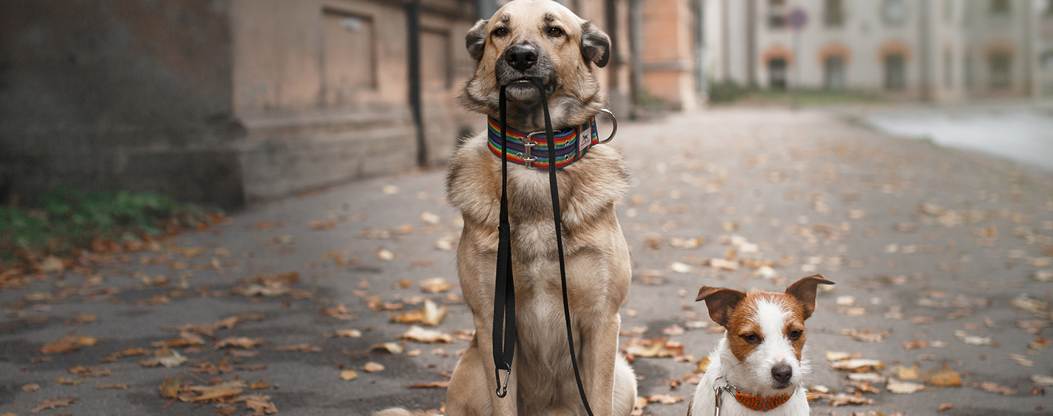Dog Care - How to Choose a Great Pet Walker