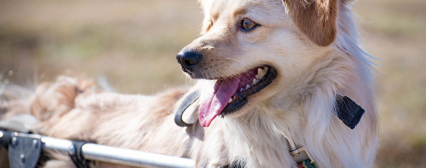 Dog Care - How to Keep Handicapped Pets Mobile
