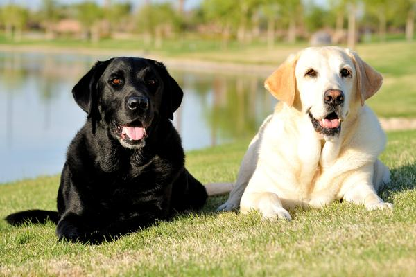 Best Dog Food For Labs >> Labrador Retrievers - Health, History, Appearance, Temperament & Maintenance