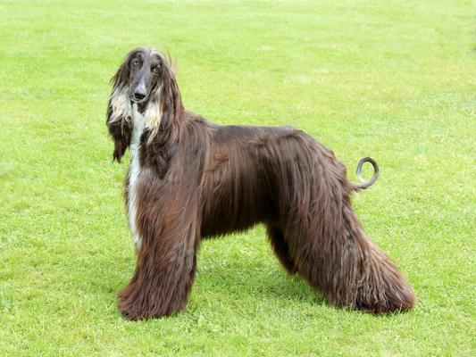 Afghan Hounds - Health, History, Appearance, Temperament & Maintenance