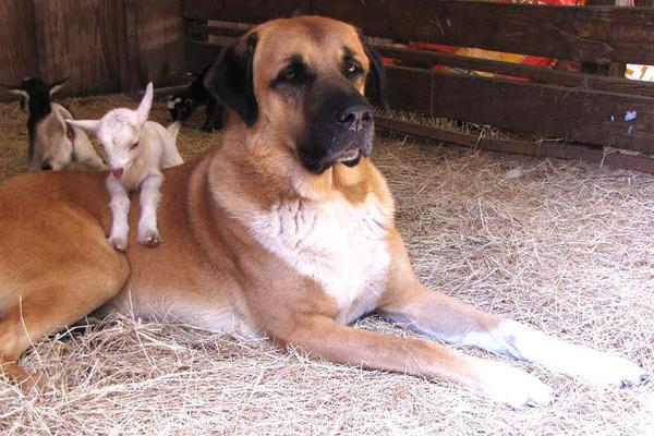Anatolian Shepherd Dogs - Health, History, Appearance, Temperament, & Maintenance