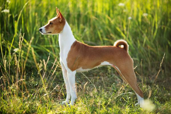 Basenji - Health, History, Appearance, Temperament & Maintenance