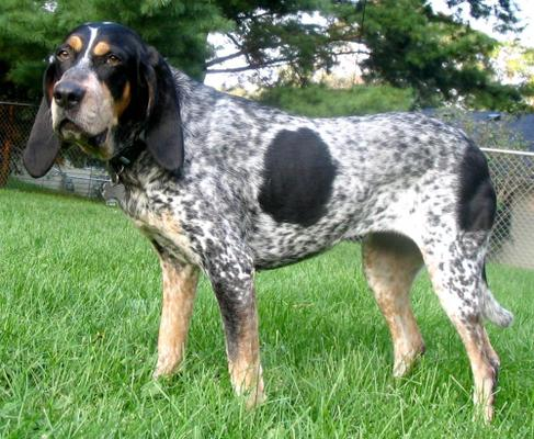 Bluetick Coonhounds - Health, History, Appearance, Temperament & Maintenance
