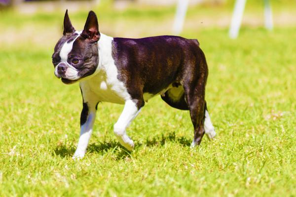 Boston Terriers - Health, History, Appearance, Temperament & Maintenance