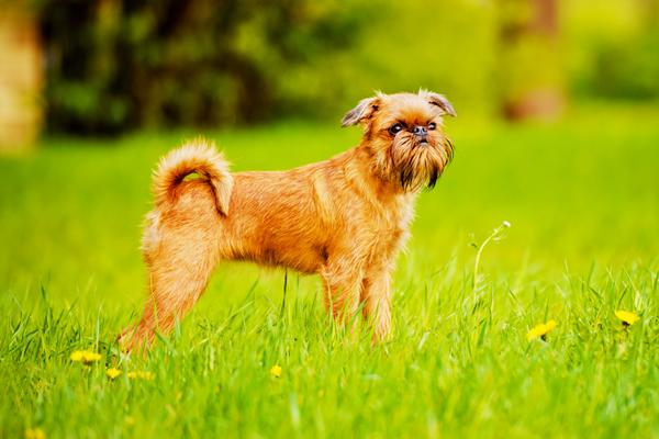 Brussels Griffon - Health, History, Appearance, Temperament & Maintenance