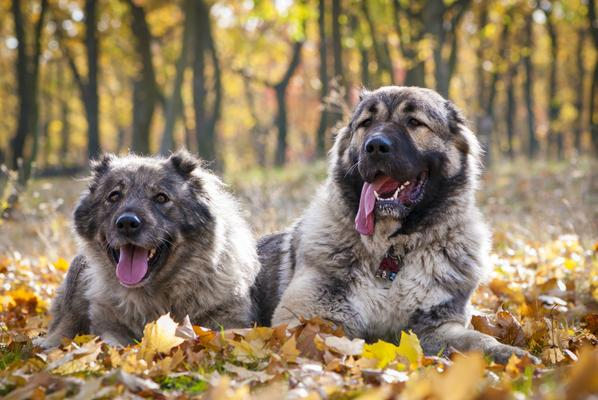 Caucasian Mountain Dog - Health, History, Appearance, Temperament & Maintenance