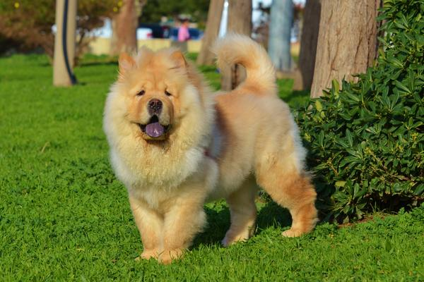 Chow Chow - Health, History, Appearance, Temperament & Maintenance