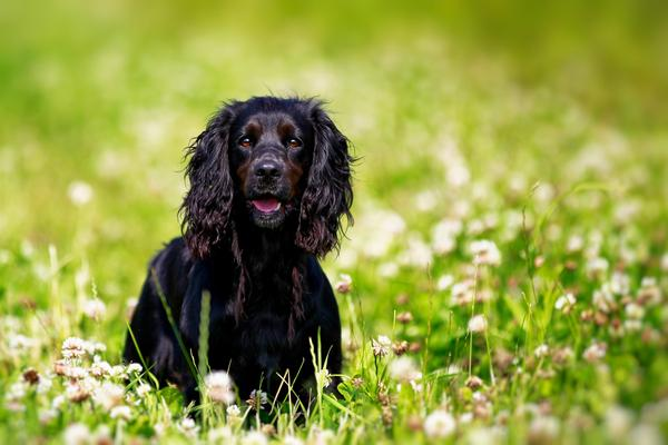 English Springer Spaniels - Health, History, Appearance, Temperament & Maintenance