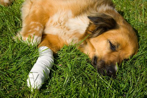 Front Leg Injury in Dogs
