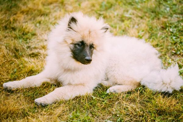 German Spitz - Health, History, Appearance, Temperament & Maintenance