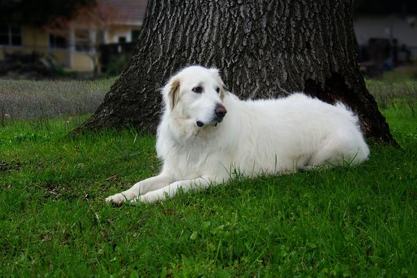 Great Pyrenees - Health, History, Appearance, Temperament & Maintenance