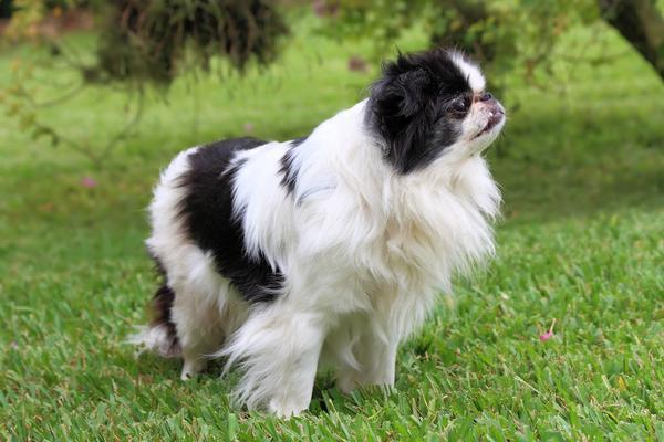 Japanese Chin - Health, History, Appearance, Temperament & Maintenance
