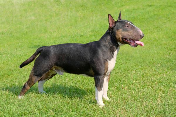 Miniature Bull Terriers - Health, History, Appearance, Temperament ...