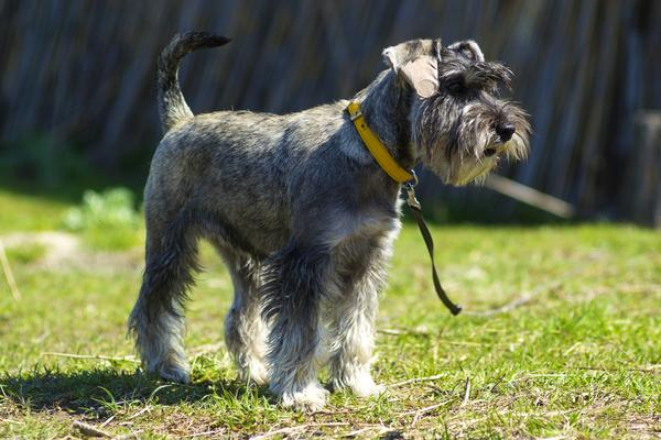 Miniature Schnauzers - Health, History, Appearance, Temperament & Maintenance