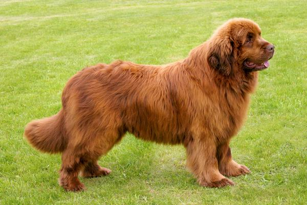 Newfoundlands - Health, History, Appearance, Temperament & Maintenance