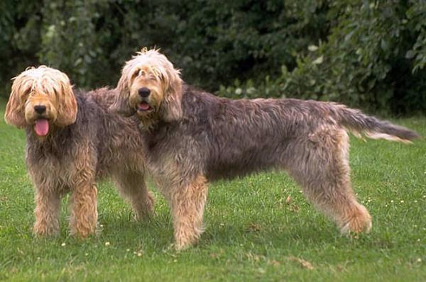 Otterhounds - Health, History, Appearance, Temperament & Maintenance