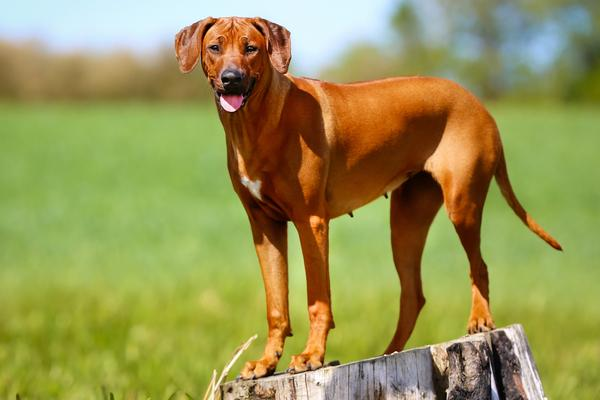 Rhodesian Ridgebacks - Health, History, Appearance, Temperament & Maintenance