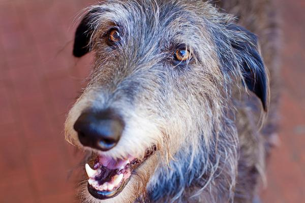 Scottish Deerhounds - Health, History, Appearance, Temperament & Maintenance