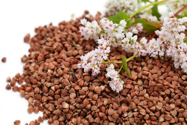 Buckwheat Poisoning in Dogs