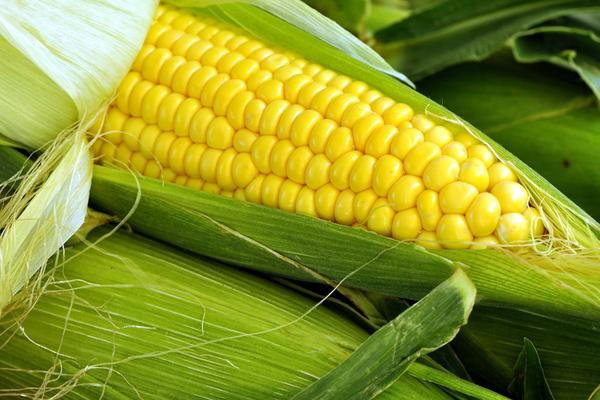 Corn Allergies in Dogs