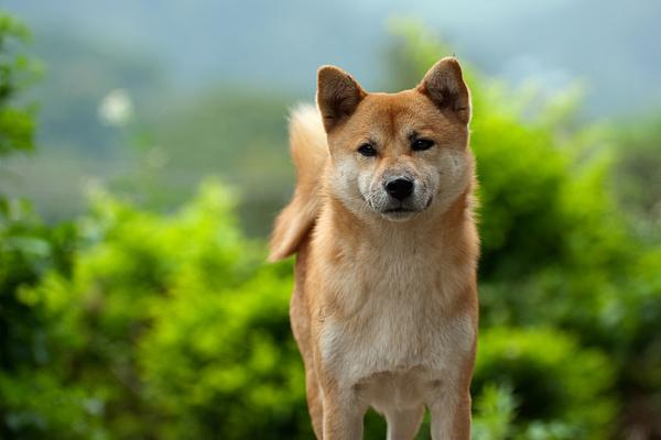 Shiba Inu - Health, History, Appearance, Temperament & Maintenance