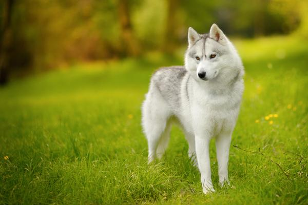 Siberian Huskys - Health, History, Appearance, Temperament & Maintenance