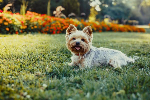 Yorkshire Terriers - Health, History, Appearance, Temperament & Maintenance
